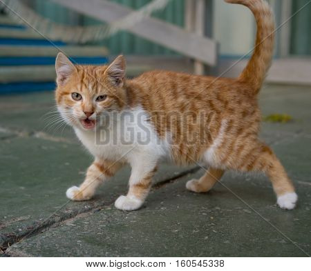 Homeless kitten hisses being on the outdoors
