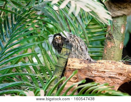 marmoset monkey sitting on a branch of palm trees
