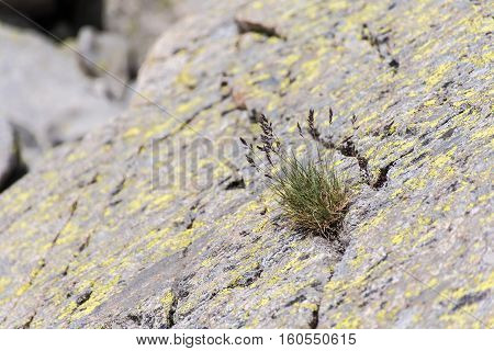 Clump of grass growing through a rock crack in the mountain