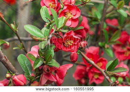 Chaenomeles Japanese, Japanese Quince, Beautiful Flowering Shrub