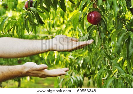 peasant's hands holding red juicy peaches on a green background