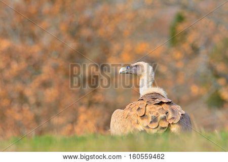 Griffon Vulture In The Meadow.