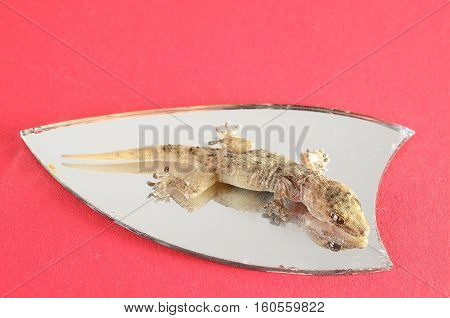 Small Gecko Lizard  And Mirror