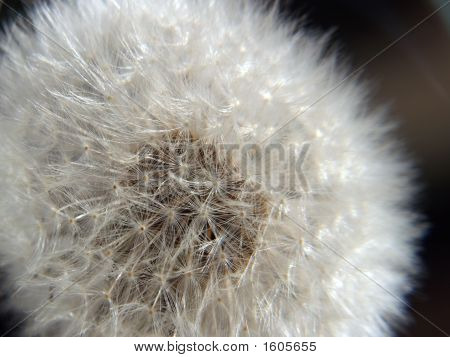 dandelion seeds closeup and a black