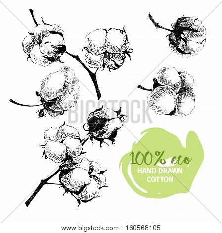 Vector hand drawn set of cotton branches. 100 eco. Cotton flower buds in vintage engraved style. Botanical art isolated on white background. Use for print poster decoration and other design.
