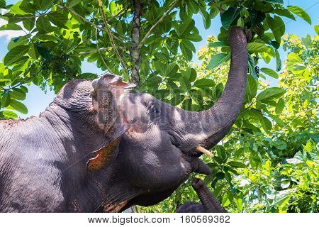 Asian elephant foraging in the jungle under blue skies