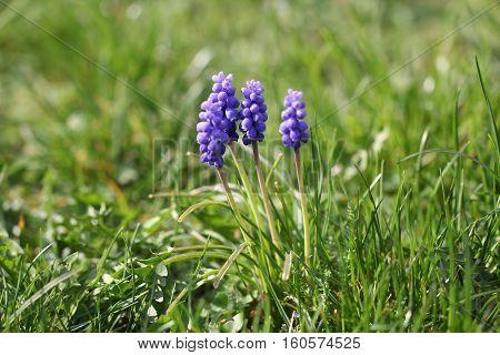 Hyacinths / Hyacinths - beautiful spring flowers