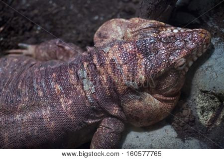 Argentine red tegu (Tupinambis rufescens), also known as the red tegu.