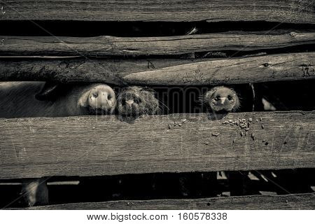 Pig snouts poking through the wooden enclosure