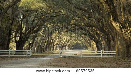 Dramatic avenue of oaks in the American deep south
