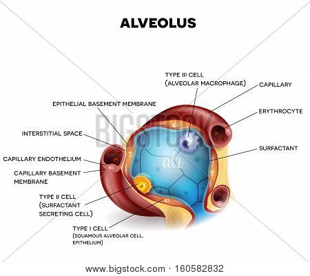 Alveolus Closeup Anatomy