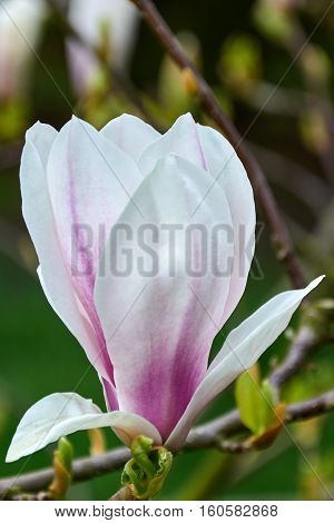 White tulips. Meadow with flowers. The buds of tulips. Lawn, beds of flowers. Flowers in the open air, the flowers in the garden. Garden decorative flowers in the flower garden.