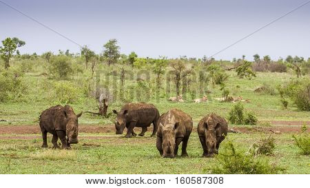 group of lions and group of white rhinoceros in a green savannah, in Kruger Park, South Africa