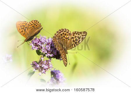 a pair of butterflies pollinating a purple flower