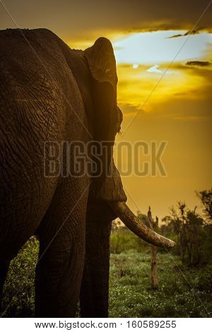 african bush elephant and sunset, vertical format, in Kruger Park, South Africa