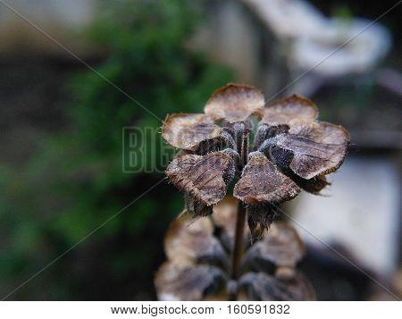 Flor de albahaca seca para extraer semillas