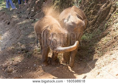 Young Elephant Use Trunk To Take Soil On Their Body