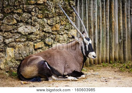 Oryx gazella Gemsbok is a large antelope.