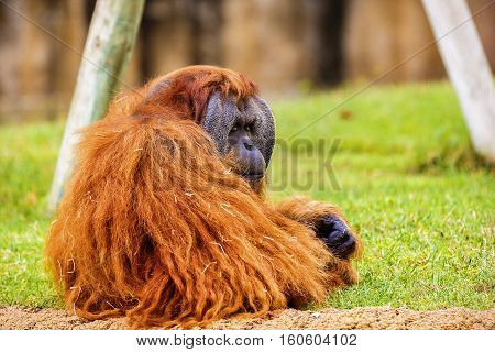 A Orangutan in zoo, Lisaboa park .
