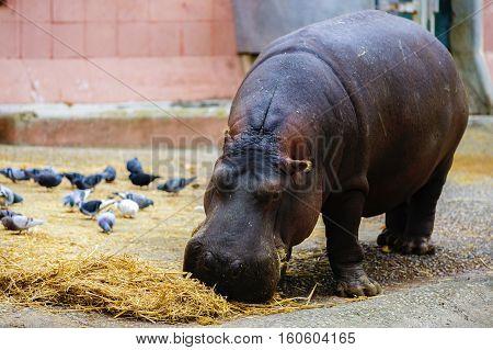 Pygmy Hippopotamus Pygmy Hippopotamus of zoo .