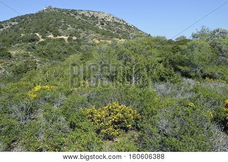 Lookout station above Smigies Akamans Peninsula Cyprus Spiny Broom - Calycotome villosa