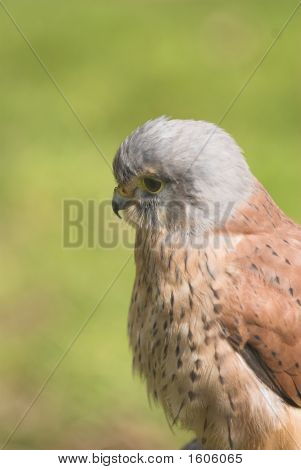 left facing profile of male Kestrel