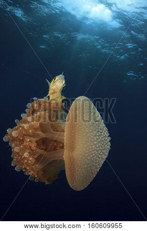 Jellyfish and fish underwater