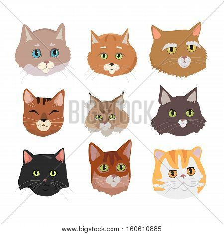 Different breed cat s faces. European shorthair, exotic, bengal, somali, maine coon cats heads flat vector illustrations set isolated on white background. For pet shop ad, animalistic hobby concepts