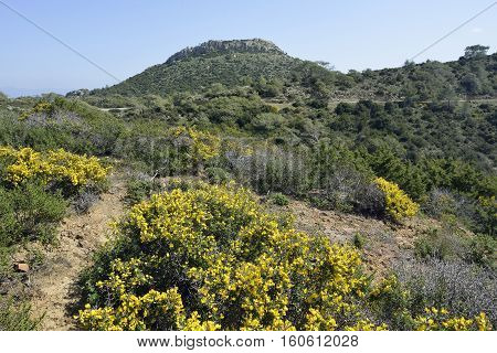 Garrigue habitat above Smigies with view to east Akamans Peninsula Cyprus Spiny Broom - Calycotome villosa