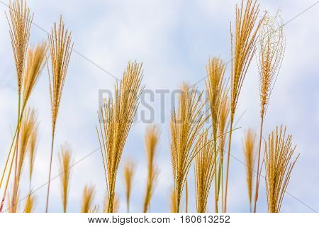 Cereal grain plant isolated against blue sky