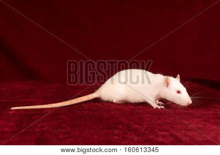Side profile portrait of white rat on red velvet background