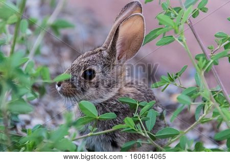 Side profile portrait of cute wild desert cottontail rabbit with big ears and green plants