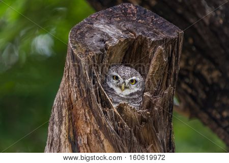 Asian barred owlet in the big tree