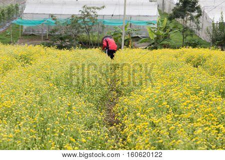 Unidentified Farmer Harvesting Chrysanthemum Flower For Producing Tea