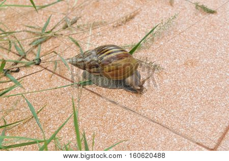 Land snail clawing on the cotta tile substrate
