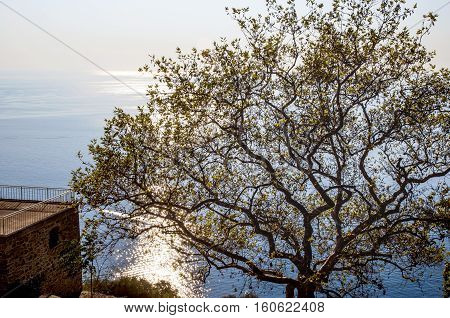 Istanbul Buyukada Old plane-tree on Yucetepe. The island's highest hill Yorgi Yorgi Church and Monastery is located.