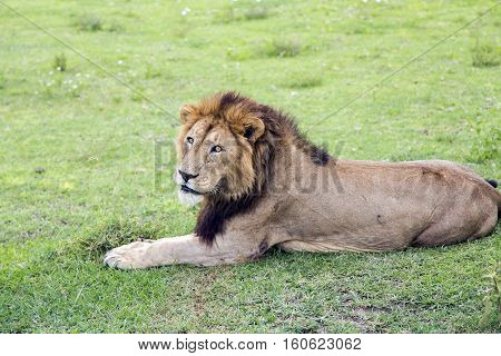 Big male African lion Panthera leo with a beautiful thick mane and scars on the skin resting on a meadow in the Ngorongoro Crater, national park Tanzania.