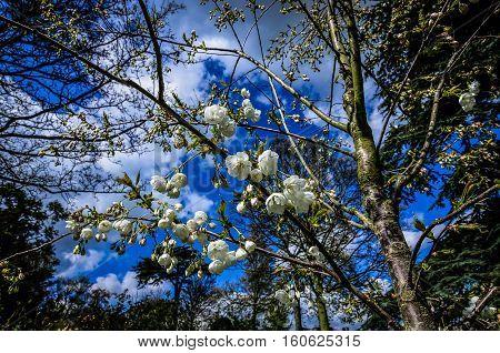 Spring plum blossom branches white flower against blue sky