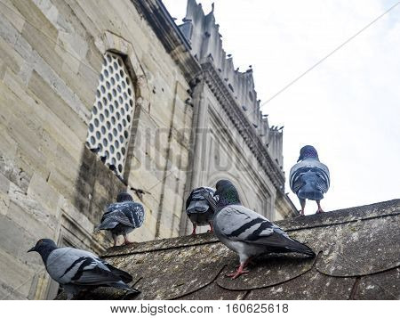 Pigeons in the courtyard of a mosque. Pigeons have made contributions of considerable importance to humanity especially in times of war. In war the homing ability of pigeons has been put to use by making them messengers.
