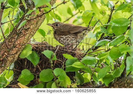 Song Thrush with nestlings in the nest.
