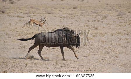 Blue wildebeest charging with springboks in Etosha National Park,Namibia