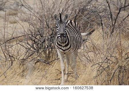 Lonely Burchell's zebra in Etosha National Park, Namibia