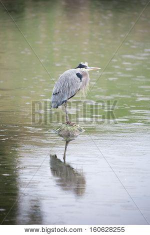 Great Blue Heron - Ardea Herodias foraging in the rain