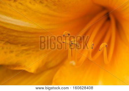 Marco shot of a orange lily stamen stigma and pollen pistils in bloom
