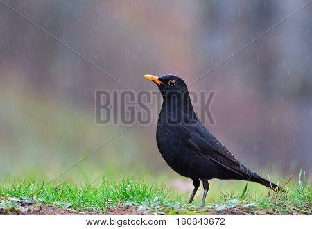 Common Blackbird In The Rain