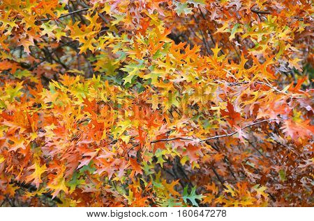 Leaves of quercus rubra (canadian oak) tree at autumn