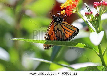 A Monarch butterfly aggressively feeding on flowers.