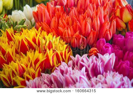 Close-up of bunches of colorful tulip flowers