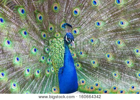 Beautiful Peacock with colorful feathers fanned out