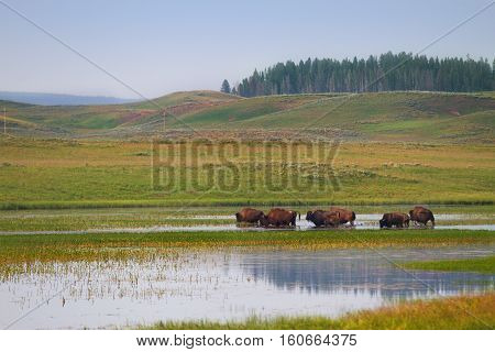 Herd of Bison Wandering in Wetlands of Yellowstone National Park United States